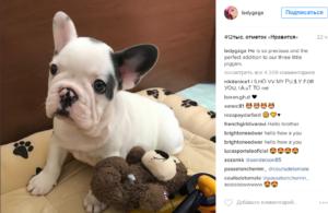 Леди Гага фото нового щенка, ноябрь 2016